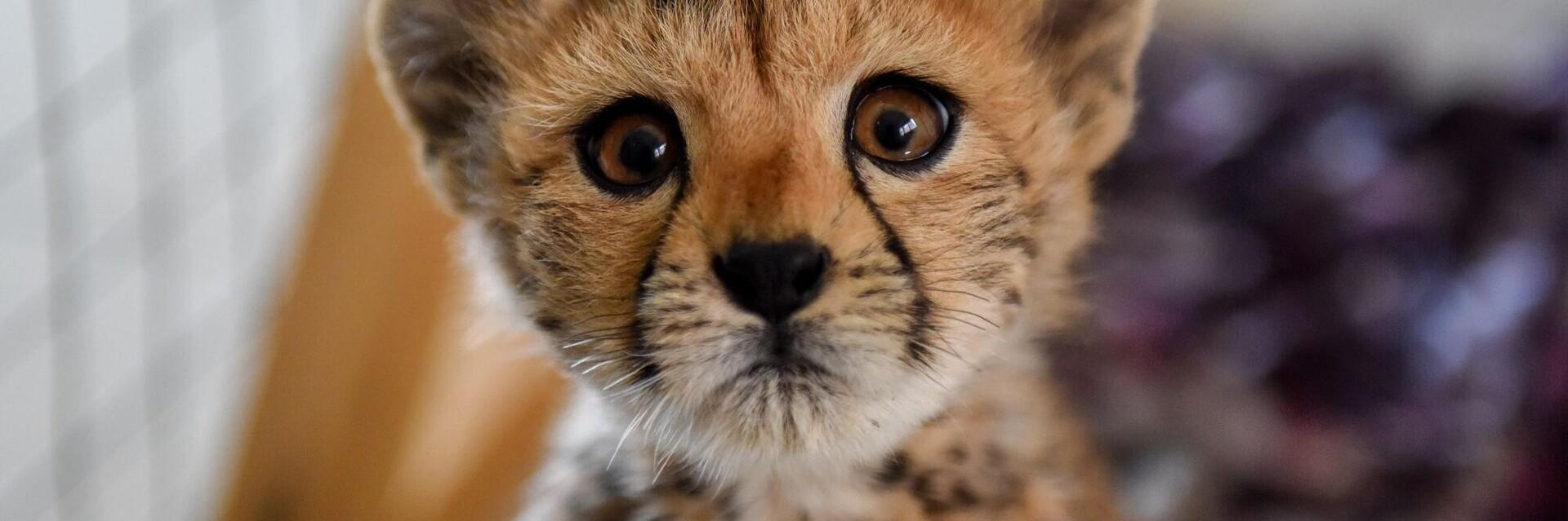 Help de cheetawelpjes