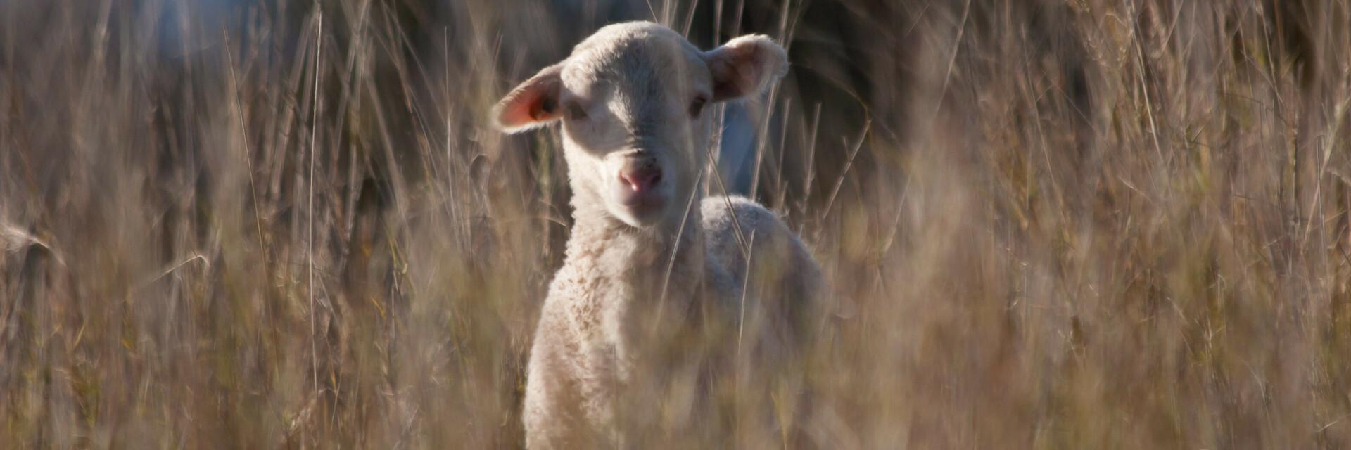 Lamb in Australia