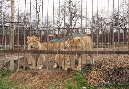 Die Löwen in Gefangenschaft