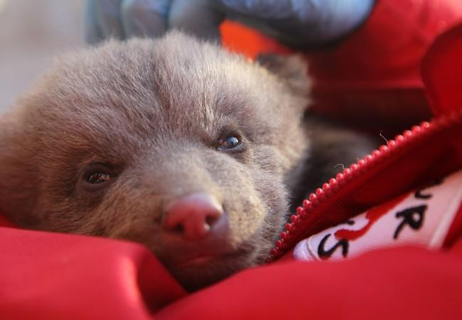 Bear cub Andri when he was found