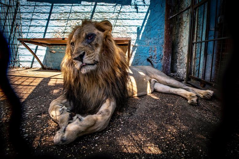 Löwe im Fier Zoo (c) David Wilson