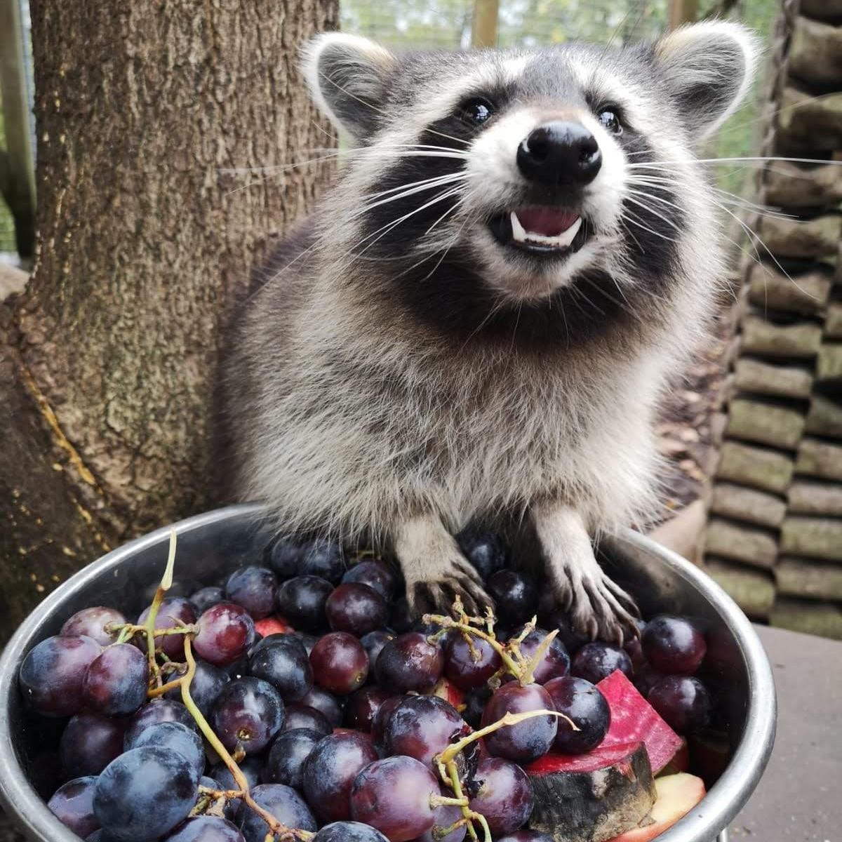 Hungry raccoon at TIERART