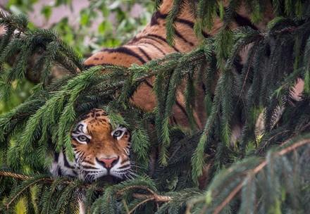Tiger hides
