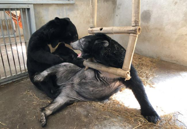 Die geretteten Gallebären spielen mit der Schaukel