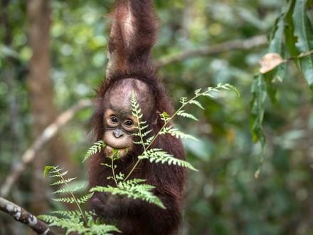 Orang-Utan Kartini in der Waldschule Borneo