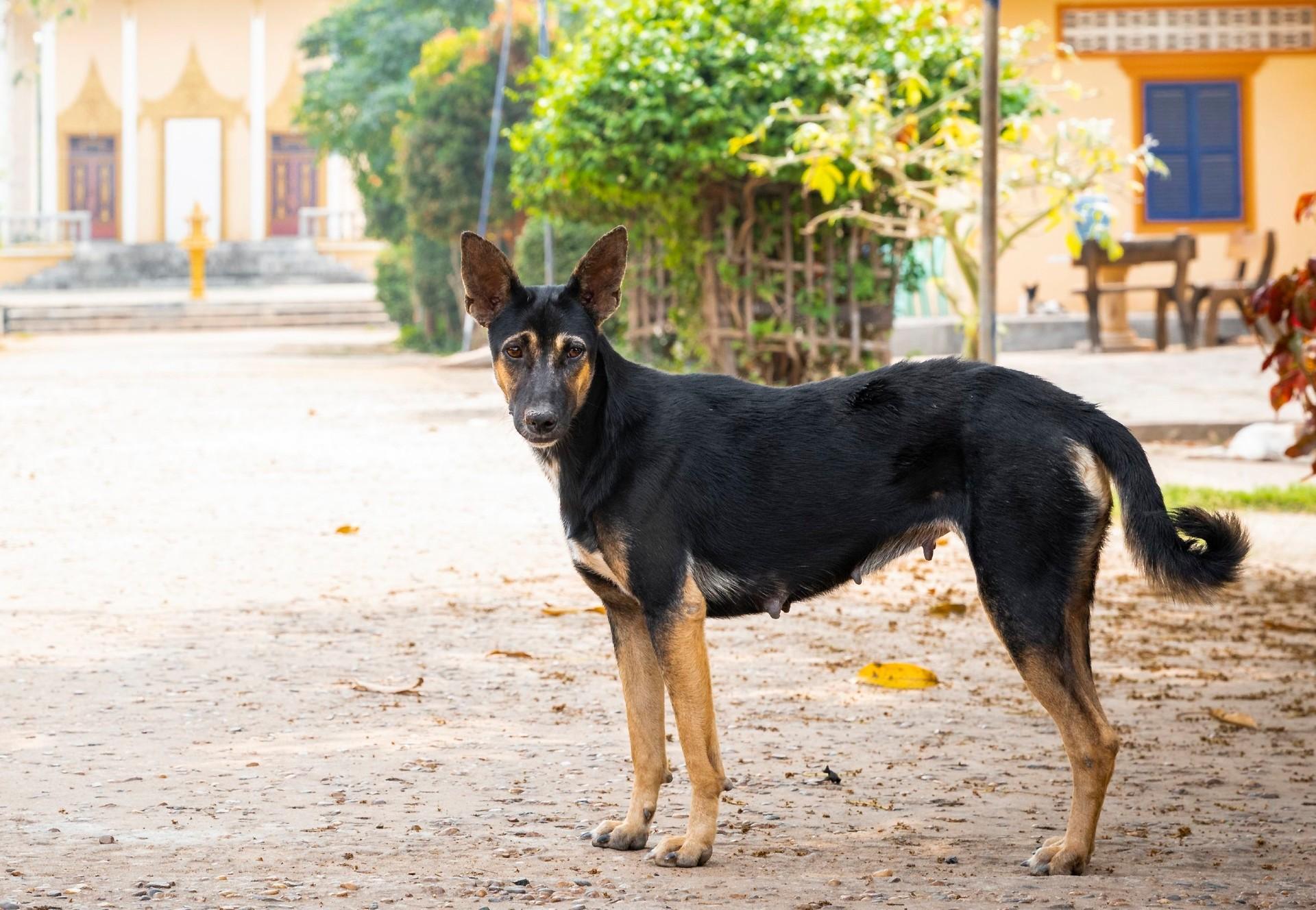 Hund vor einem Tempel