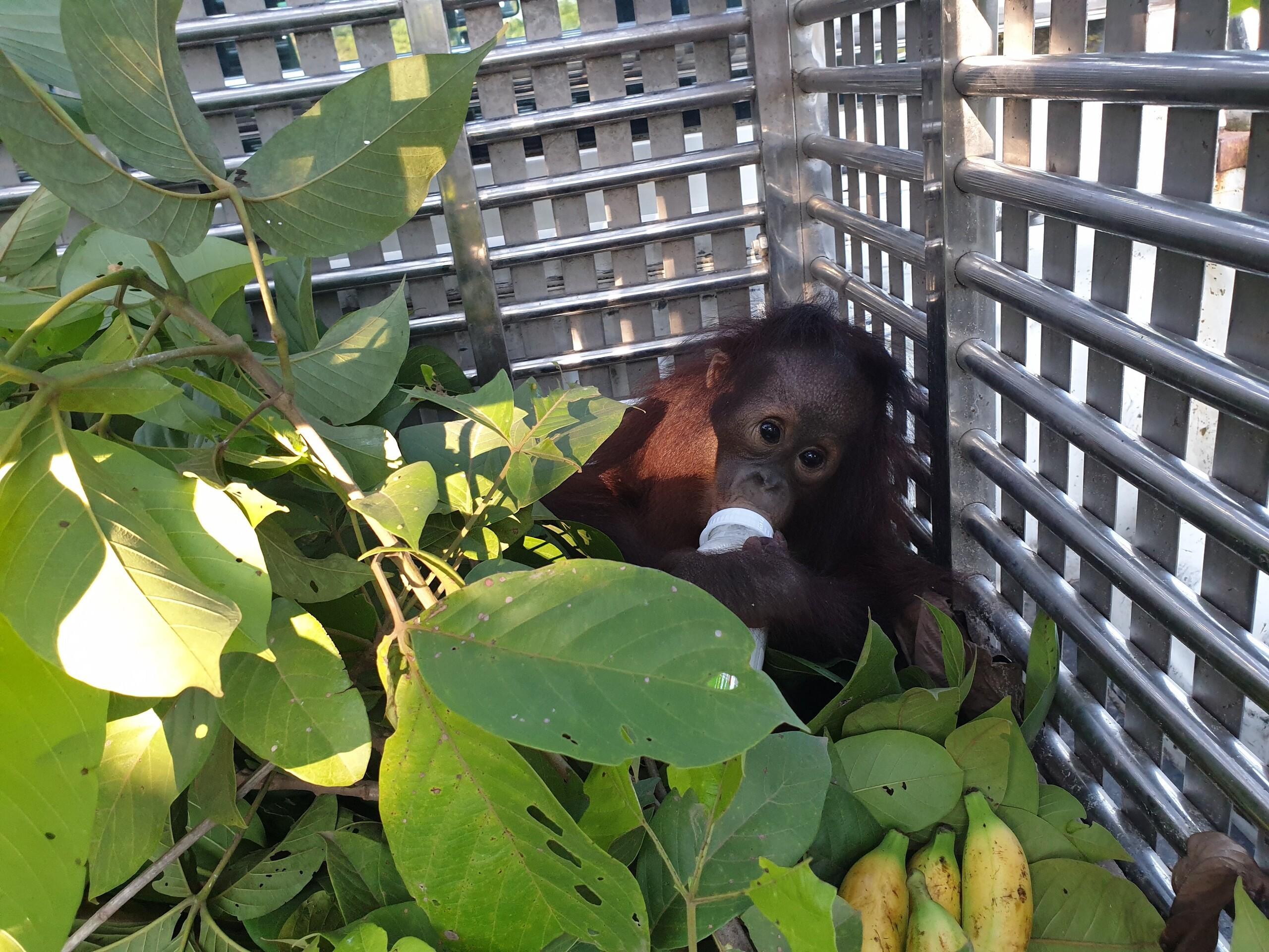 Das Orang-Utan Baby ist mit dem Fläschchen schon ein Profi