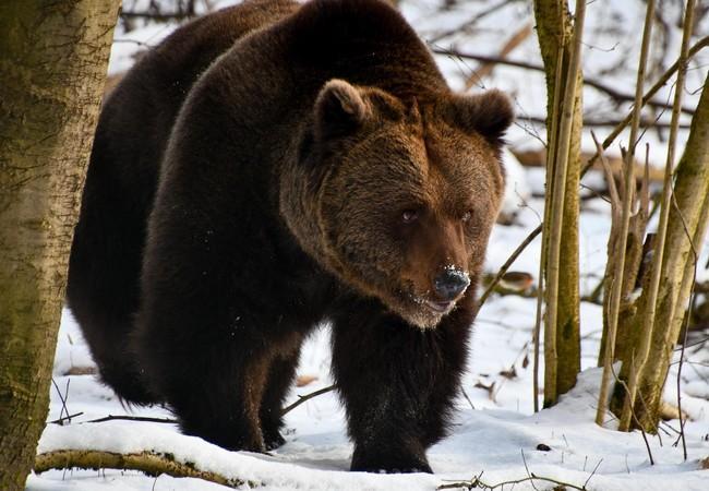 Pavle sucht nach Futter im Wald