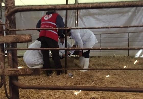 Vet check on sheep rescued from live transport cargo accident