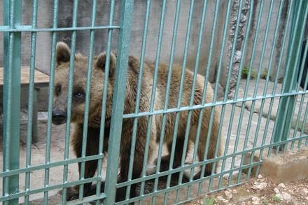 Bear in captivity in Croatia