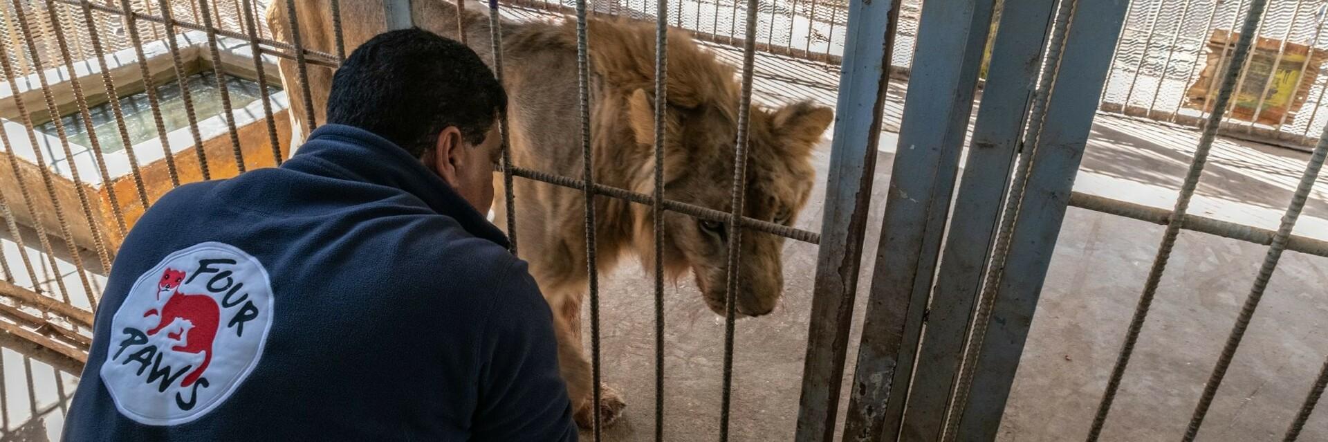 Dr. Amir Khalil besucht einen Löwen im Sudan