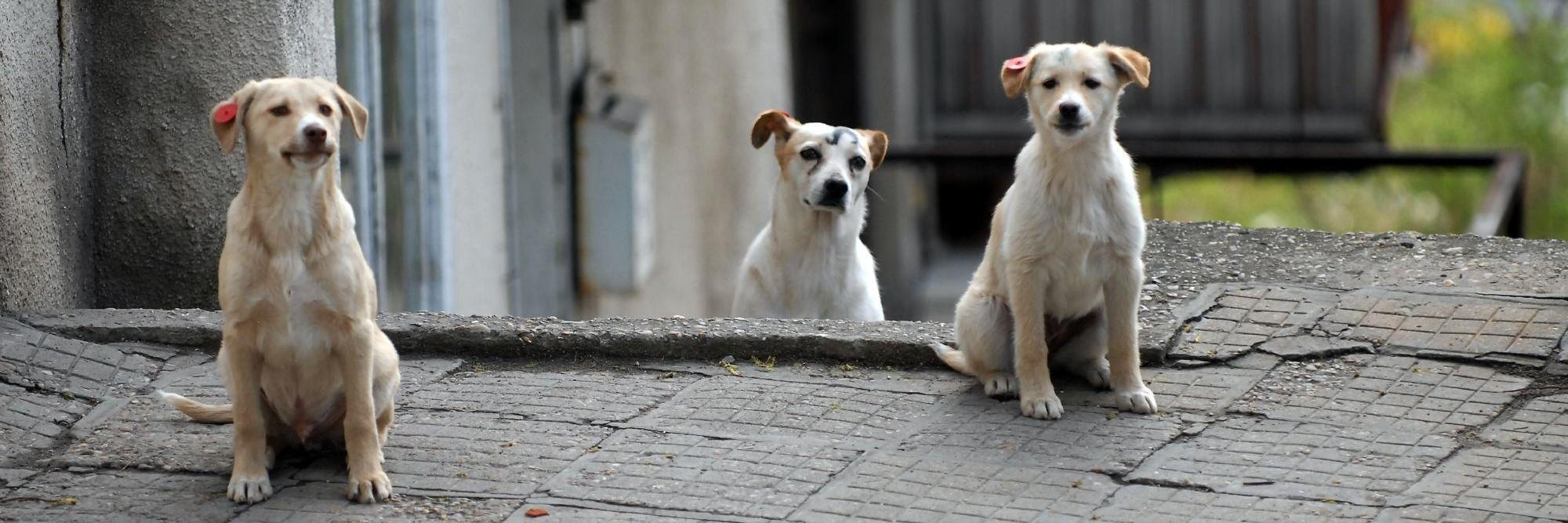 Stray dogs in Bulgaria