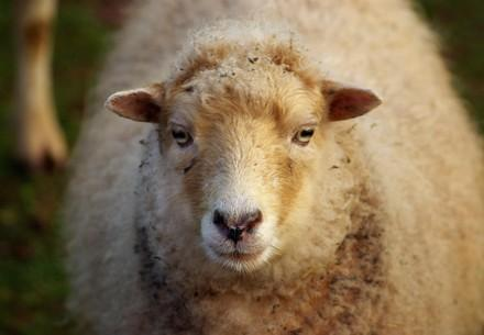 Mini sheep at TIERART
