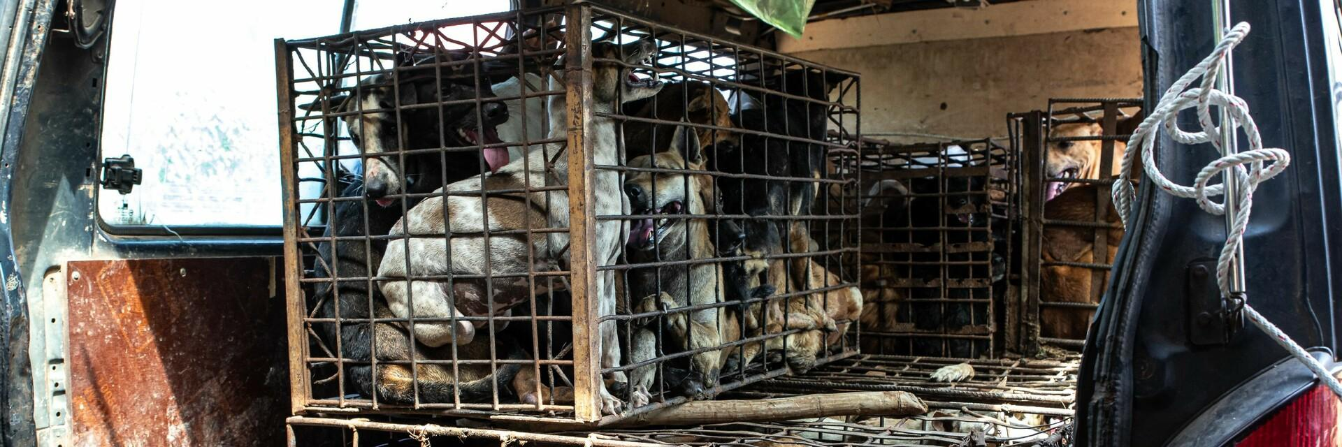 Many dogs in dog meat cages