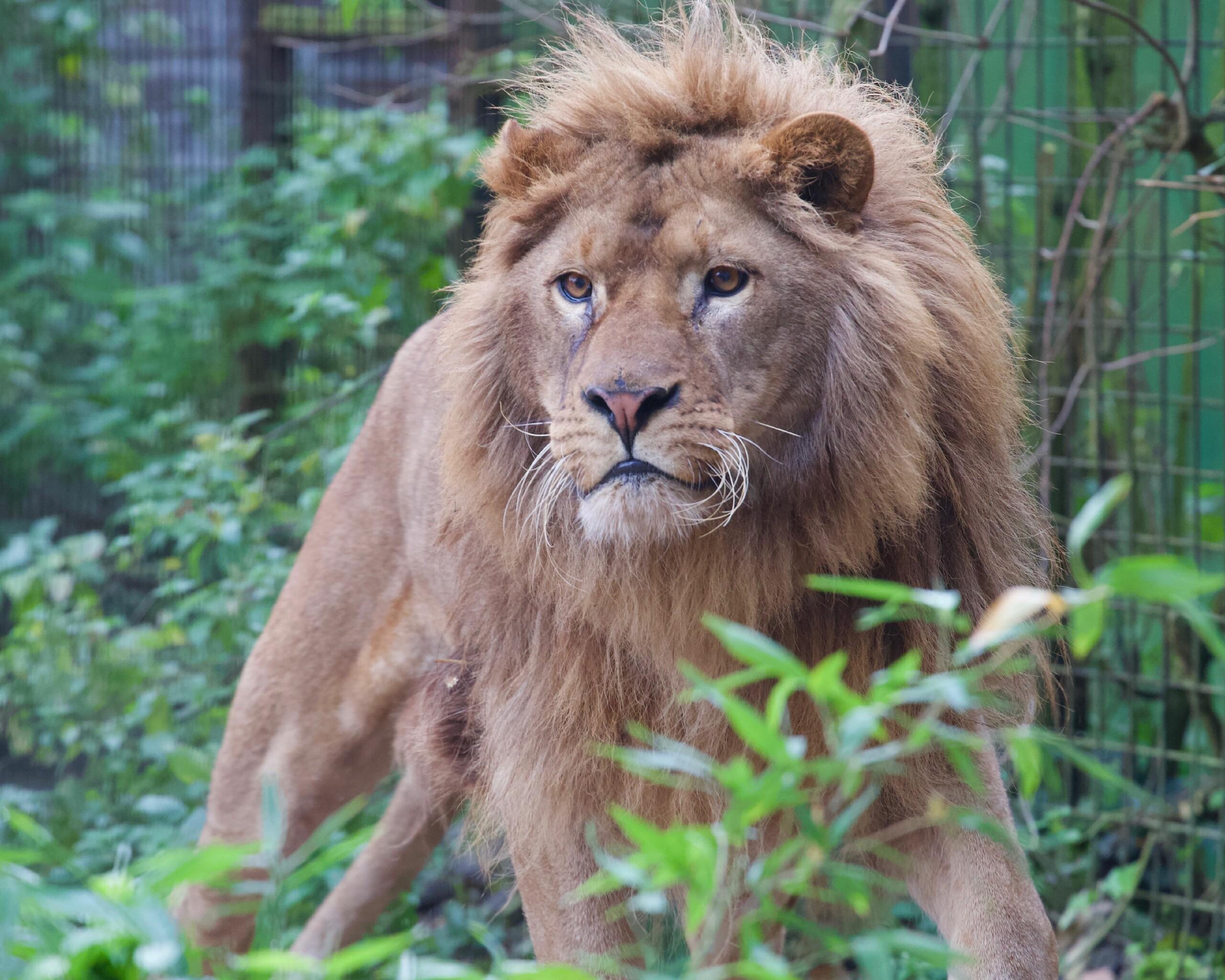 Leeuw Ivan-Asen
