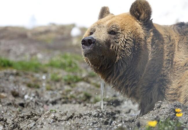 Bär Meimo erkundet das Arosa Bärenland