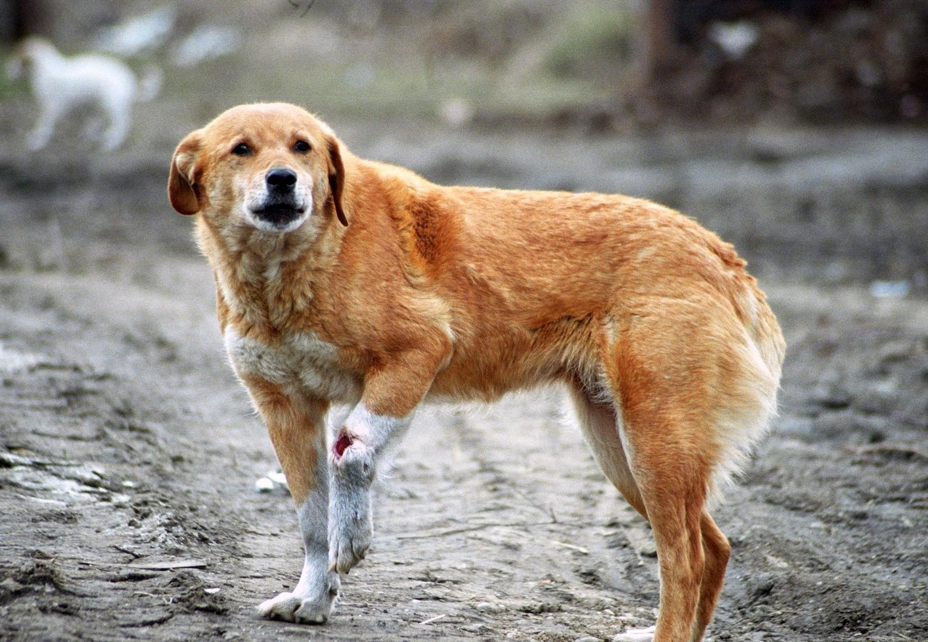 Mishandelde hond