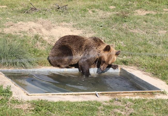 Brown bear Tomi playing in the water