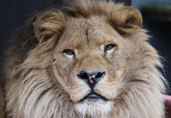 Lion Bobby in 2019