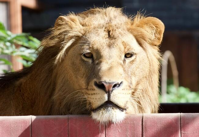 Lion Terez enjoying the sun