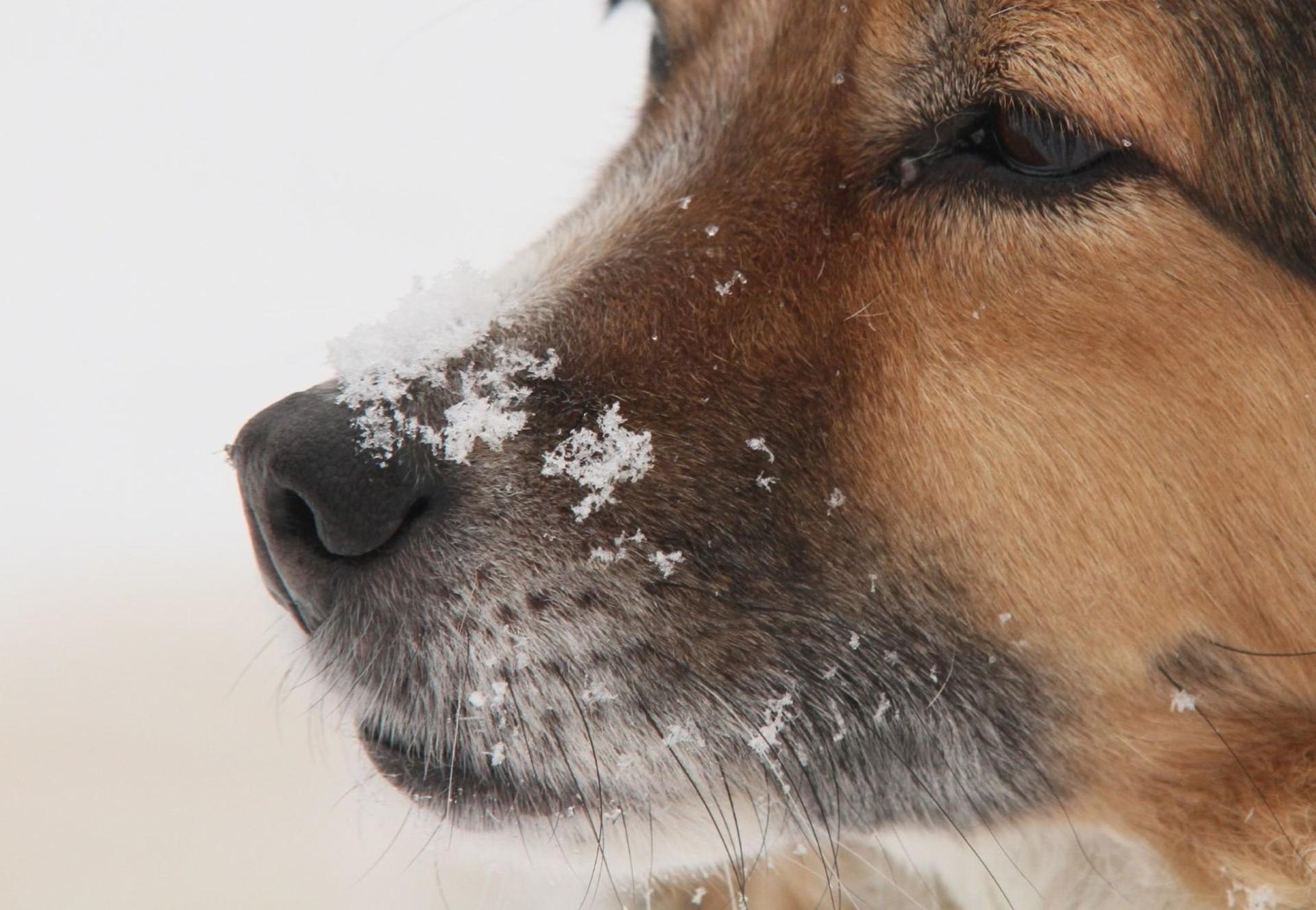 Hund mit Schneeflocken auf der Nase