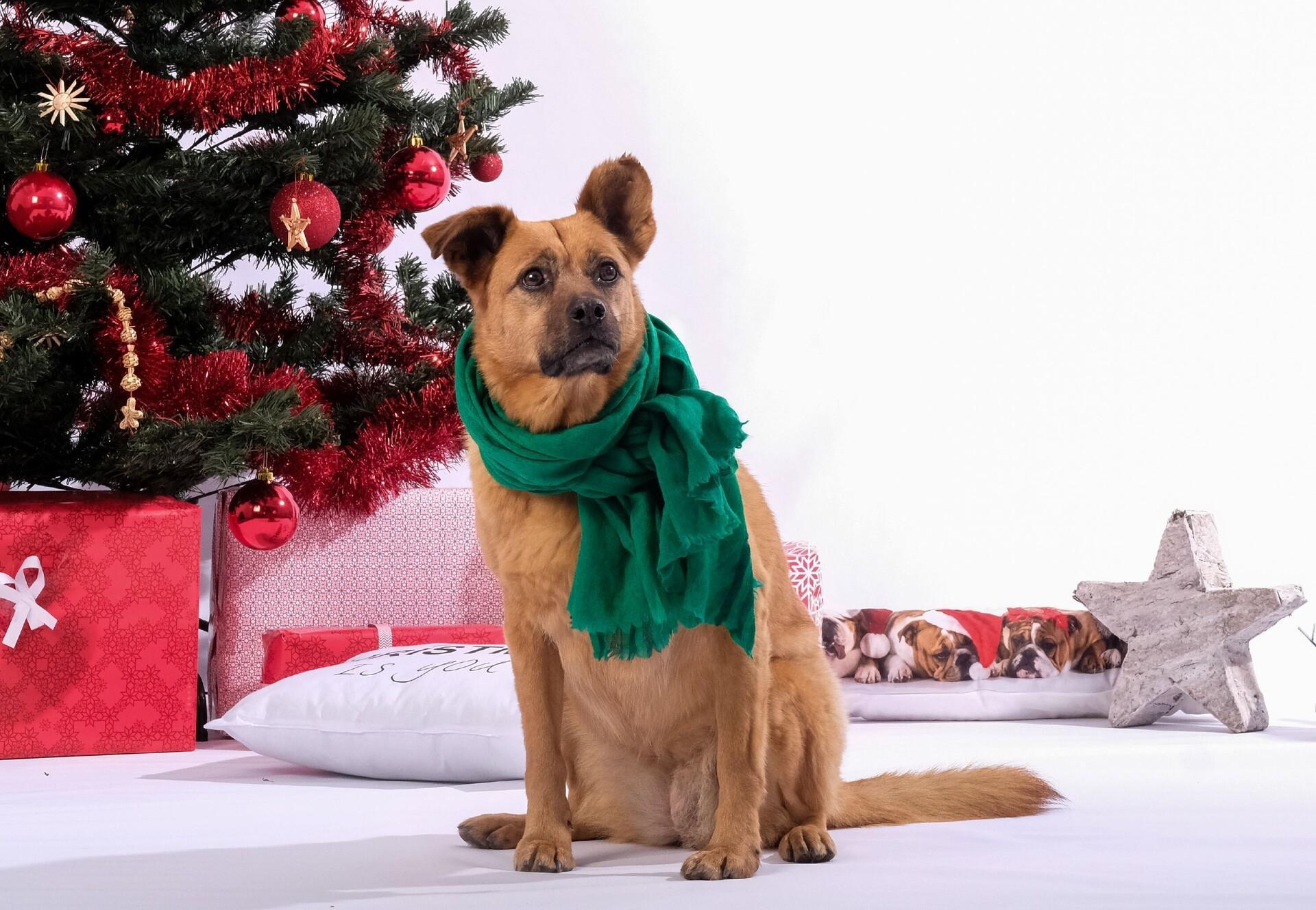 Hund sitzt vor Weihnachtsbaum