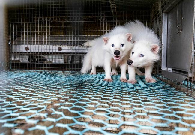weiße Marderhunde in einer finnischen Pelzfarm