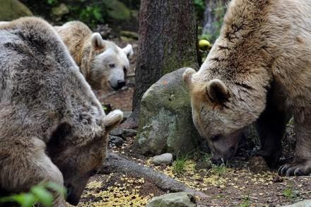 Bären im Wald