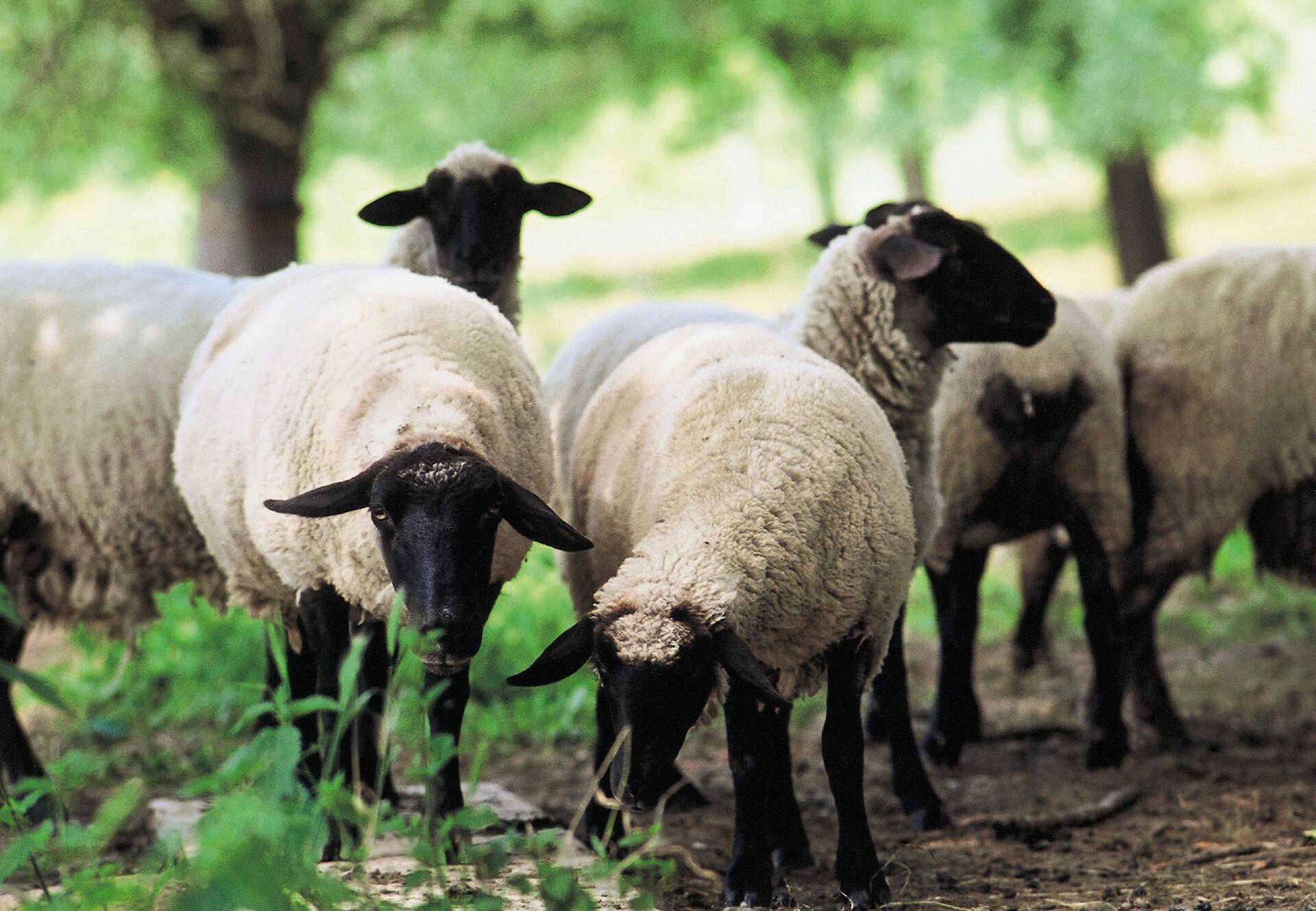 Schafe bei TIERART - einem Projekt von VIER PFOTEN