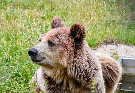 bear-laying-grass