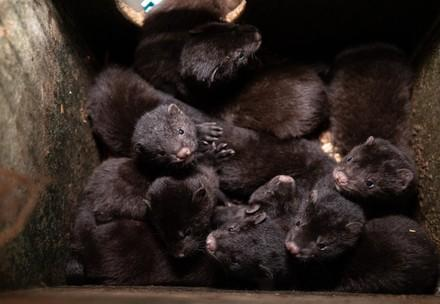 Minks in a fur farm