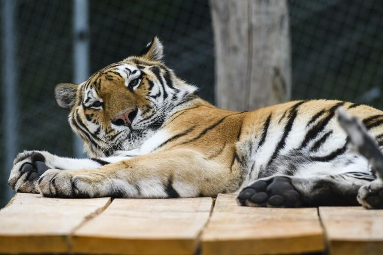 Tiger Sahib auf dem Dach seiner Hütte