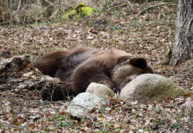 Braunbär Balou ist schon fast wach.
