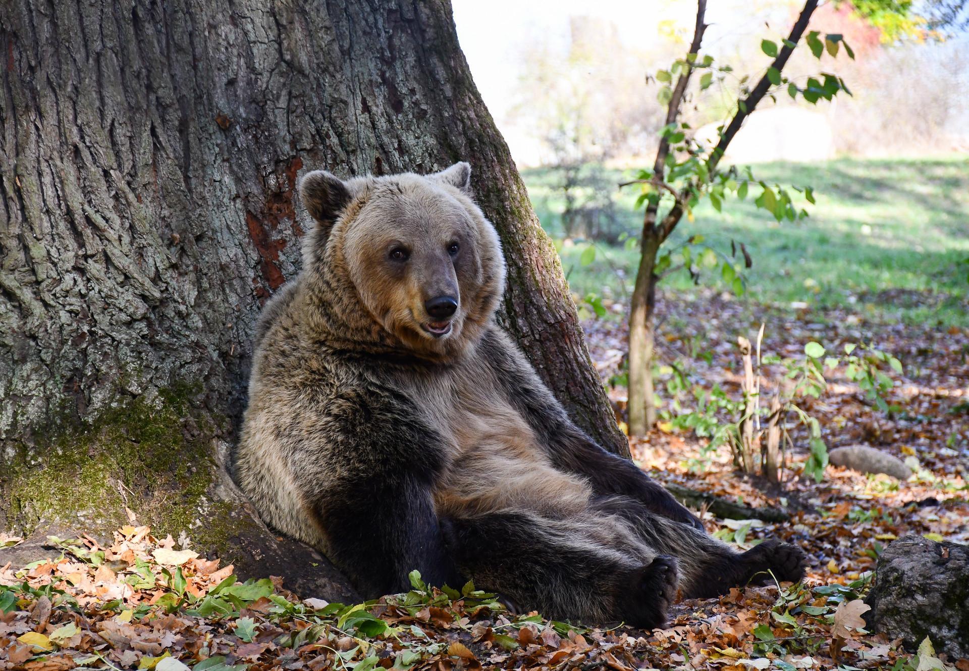 Bär sitzt entspannt an einem Baum