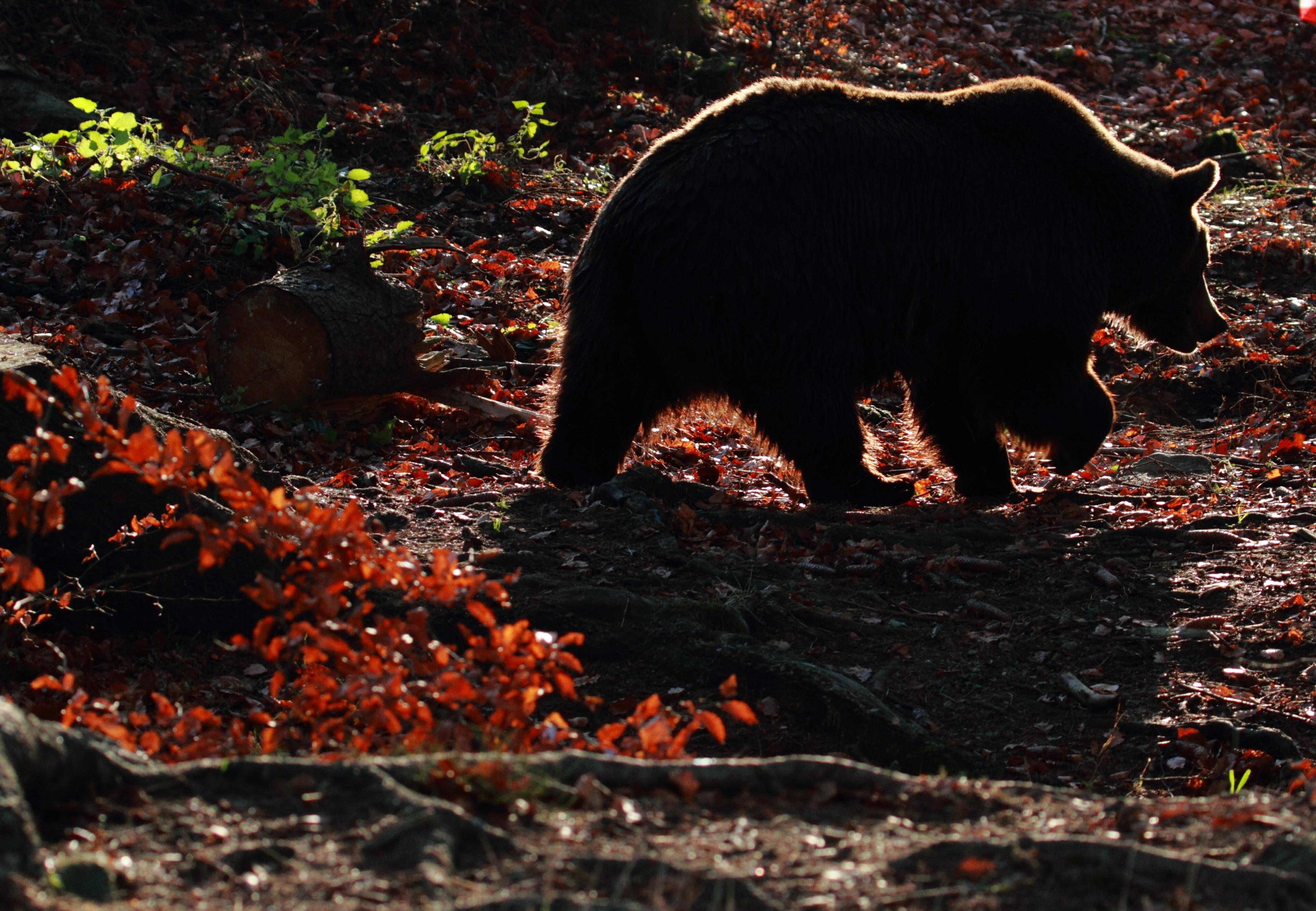 Gấu tại KHU BẢO TỒN GẤU Arbesbach
