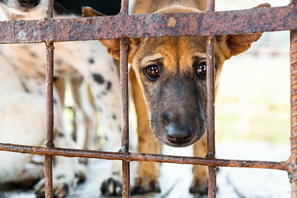 cruel commerce de la viande de chien et de chat