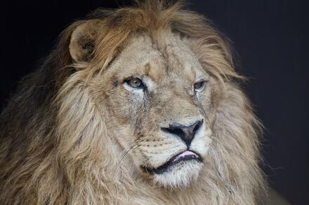 Lion Lenci