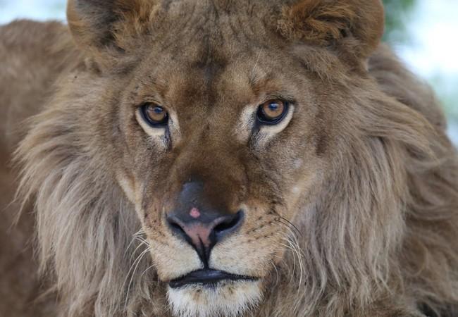 Le lion Ivan-Asen à FELIDA fin 2019