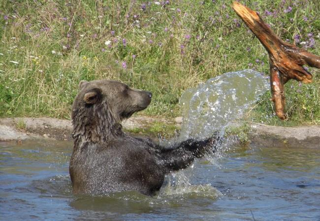 Brown bear in water throwing log at sanctuary