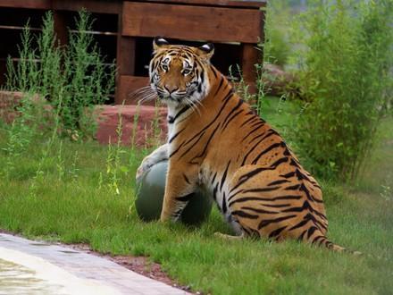 Tiger Cara spielt mit Ball