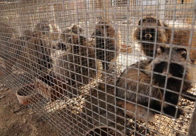 Raccoon dog fur farm