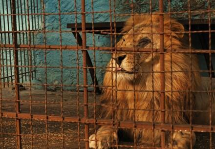 Lion Lenci in Zoo