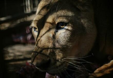 Lioness in Sudan