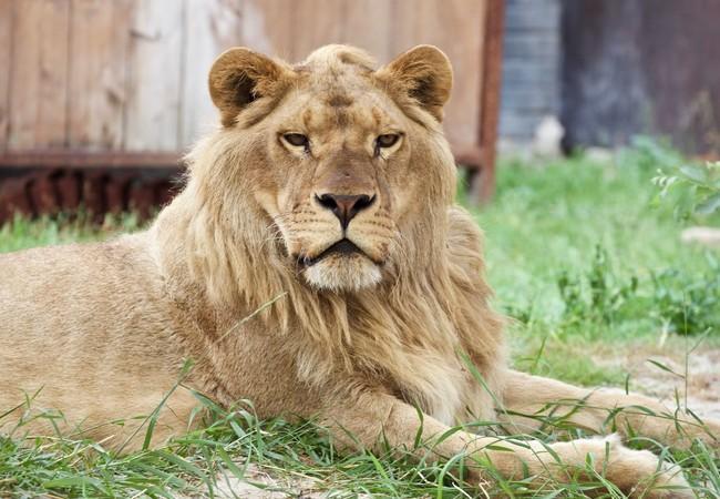 Lion Ivan-Asen now healthy and happy