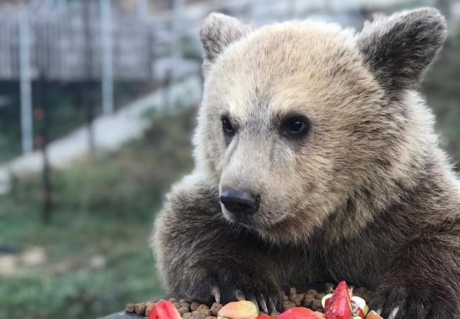 Bear Andri eating some vegetables