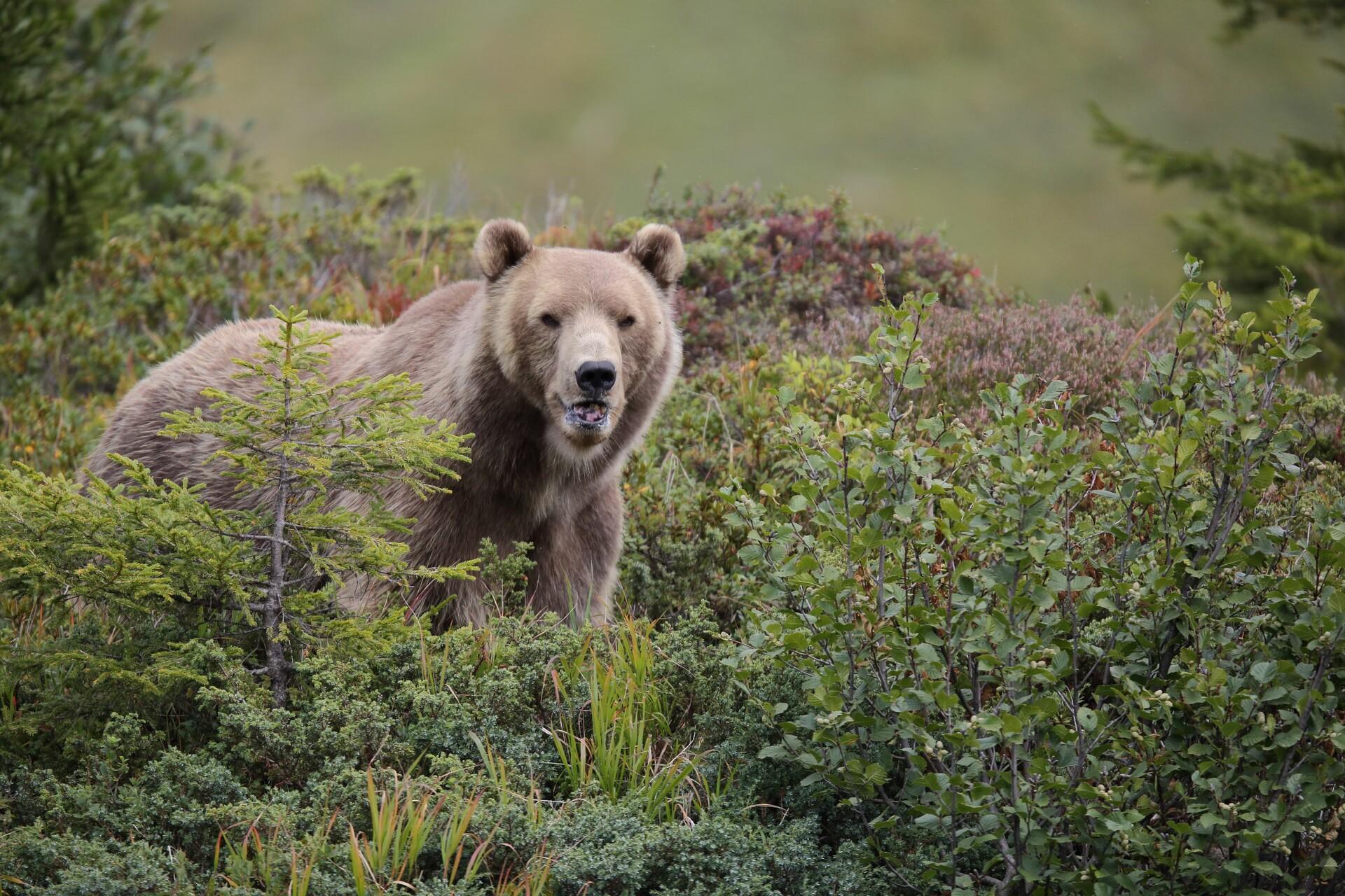 Bär Napa im Arosa Bärenland