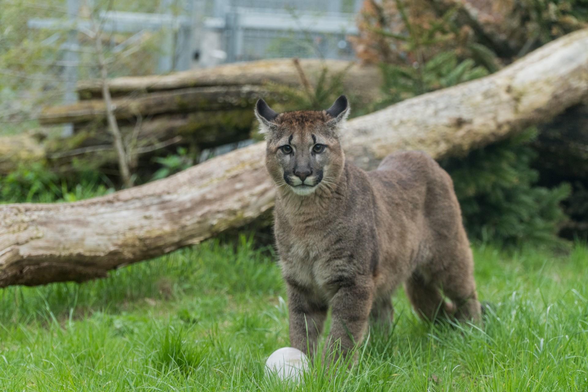 Puma in the enclosure