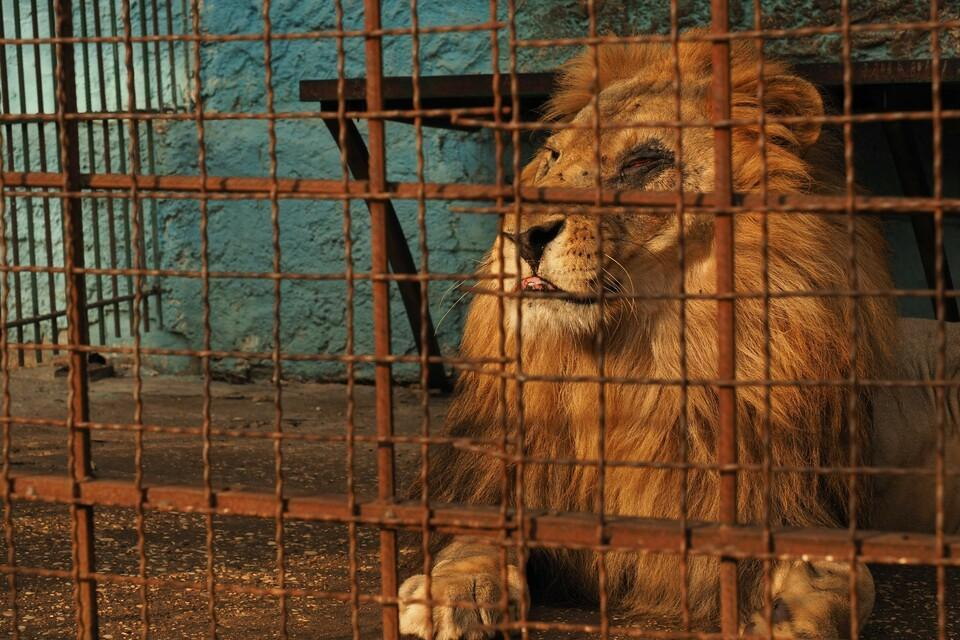 Pitiful lion in cage