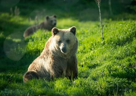 Bear Hana