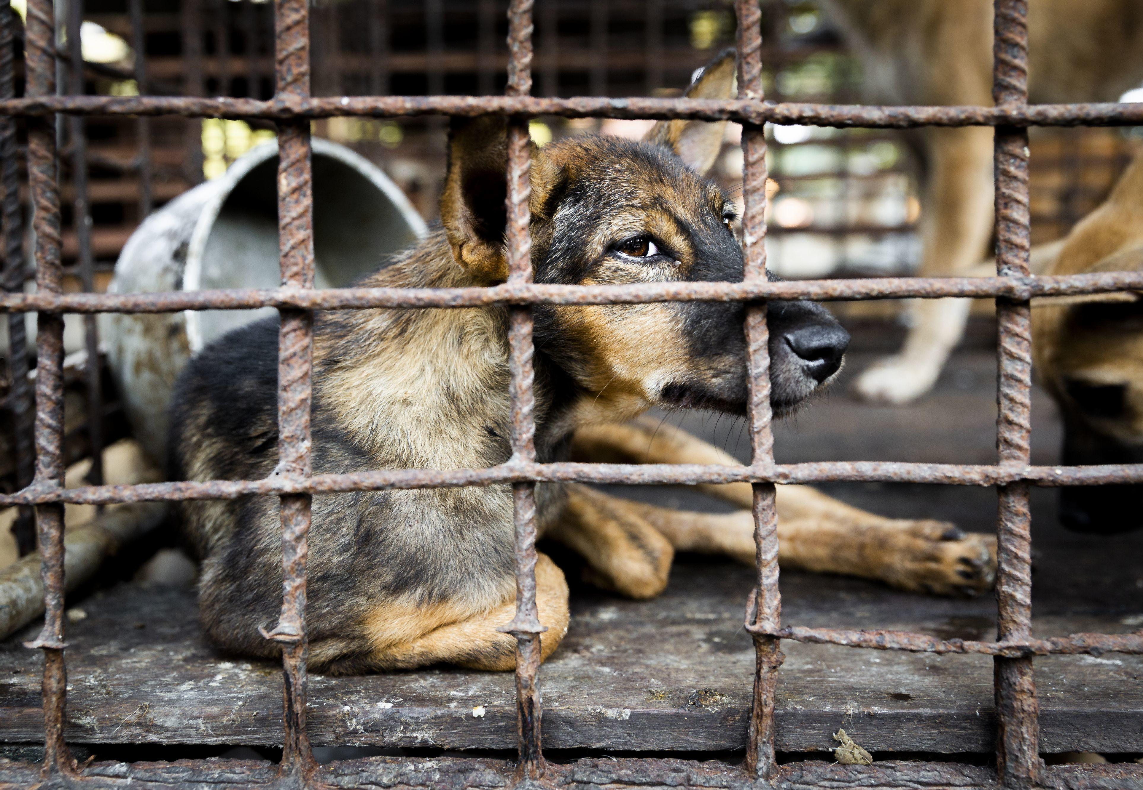 Siem Reap verbietet als erste Provinz Hundefleisch